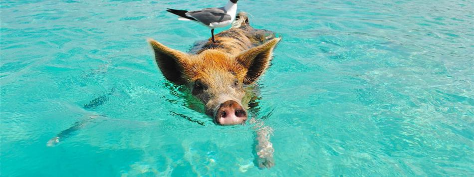 pig swimming in the sea